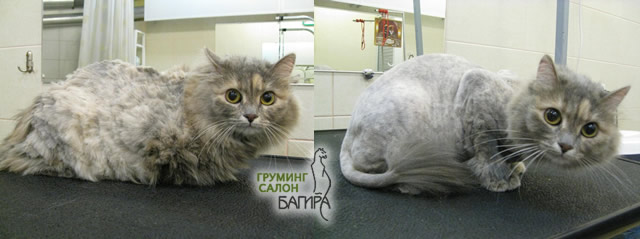Коты до и после стрижки фото